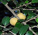 Kei Apple Seeds (Dovyalis caffra) 2+ Rare Seeds + FREE Bonus 6 Variety Seed Pack - a .95 Value! Packed in FROZEN SEED CAPSULES for Growing Seeds Now or Saving Seeds For Years