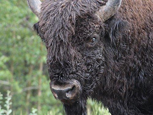 200 Buffalo - Lais Jigsaw Buffalo 200 Pieces