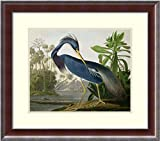 Framed Art Print, 'Louisiana Heron, from'Birds of America, engraved by Robert Havell, 1834' by John James Audubon: Outer Size 25 x 22''