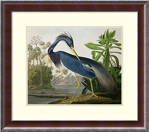 Framed Art Print, 'Louisiana Heron, from'Birds of America, engraved by Robert Havell, 1834' by John James Audubon: Outer Size 25 x 22'' by Amanti Art