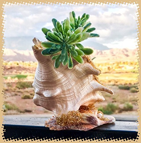 Junonias Seashell (Golden Agate Spider Conch ~ Planter (faux plant included))
