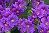 Geranium pratense 'Purple Haze' 10 Seeds-Perennial/Hardy/Amazing Foliage&Flowers