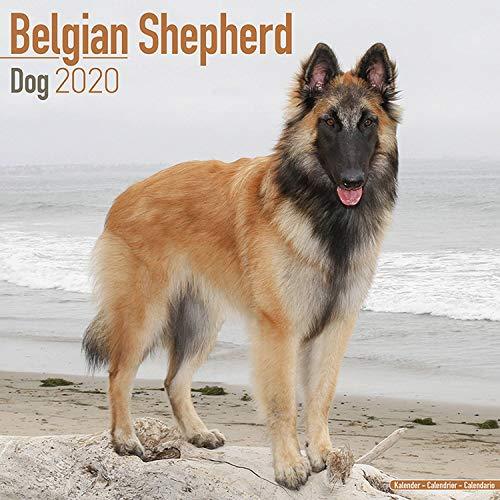 Belgian Tervuren Breed - Belgian Shepherd Dog Calendar 2020 - Dog Breed Calendar - Wall Calendar 2019-2020