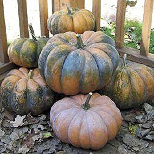 (FrencHeirloom MUSQUE de PROVENCE Pumpkin Fairytale RARE❋15 SEEDS❋CHEF'S FAVORITE )