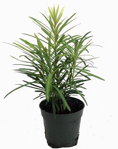 Podocarpus Bonsai - 'Buddhist Pine' Tree - Bonsai/Houseplant - Podocarpus - 4