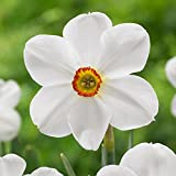 10 Bulbs Narcissus Poeticus Actea