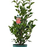 Established Red Flowering Camellia Plant 90-100cm Tall. 5 Litre/23cm Pot. Evergreen Flowering Winter Hardy Shrubs, Lovely Gift idea, Mum, Aunt, Sister, Grandma, or just a simple thank you. Top Quality