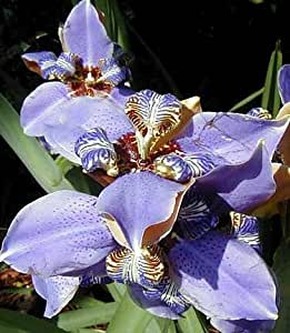 "Blue Walking Iris Plant - Neomarica - Rare Houseplant - 4"" Pot"