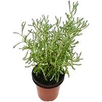 Abrótano Hembra 10cm Santolina chamaecyparissus Planta Natural