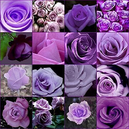 Polyantha Rose - AXDZ 1PCS Rare Purple Rose Flower Polyantha Outdoor Plants