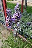 "Findlavender - Lavender French Provence - Very Fragrant - 7"" Size Pot - 1 Live Plants"
