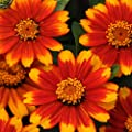Outsidepride Zinnia Zahara Sunburst Flower Seeds