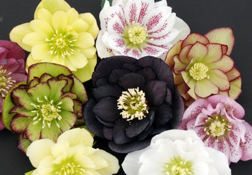 (Fluffy Ruffles Lenten/Christmas Rose - Helleborus - Shade Lover - 4