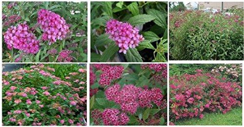 Casavidas Seeds Package: 50 + Fresh Seeds of Pink Anthony Waterer Spirea Shrub Bush ()