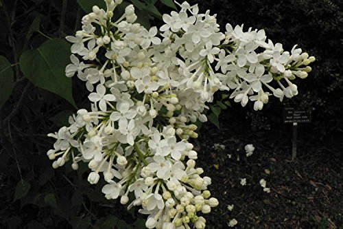 (1 Gallon) 'Betsy Ross' Lilac - (US National Arboretum Developed) - Large Single White Fragrant Flowers Cover This Multi-Stemmed, Rounded Plant In Early-Mid April.