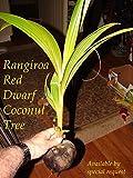 ~RED TAHITI RANGIROA~ RARE DWARF COCONUT 2-3+ft TREE Ready to PLANT!