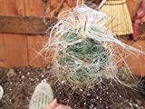 "1 Bare Root of Oreocereus Celsianus "" Old Man Of The Andes"" Cactus"
