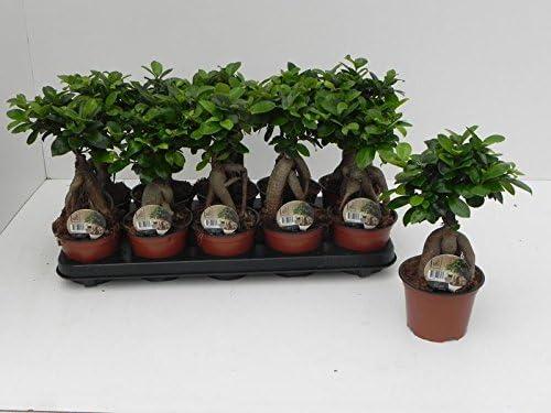 Ficus Ginseng Bonsai House Plant