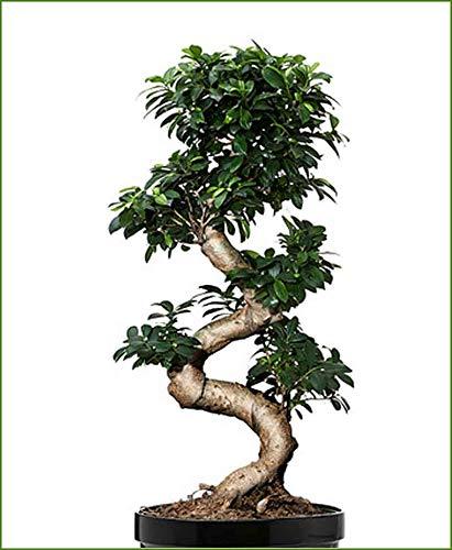Abana Homes® Ficus Bonsai Tree Podacate Multicurve Indoor Bonsai Plants