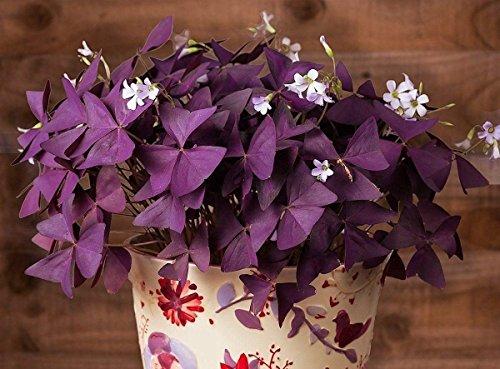 Oxalis Triangularis (20bulbs) - Purple Shamrocks by EGBULBS