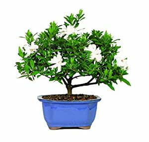 Brussel's DT0107G Gardenia Outdoor Bonsai Tree