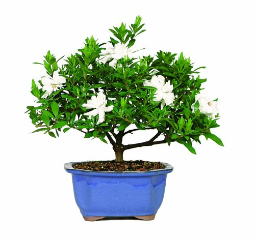 brussels-dt0107g-gardenia-outdoor-bonsai-tree