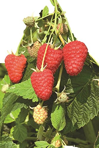 Burpee Thornless Fall Fruiting Raspberry 'Joan J' shipped as 5 BARE ROOT PLANTS by Burpee (Image #5)
