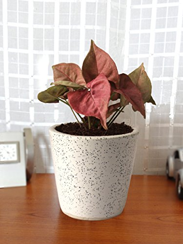 Rolling Nature Good Luck Air Purifying Live Pink Syngonium Plant...