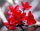 HAWAIIAN RED PLUMERIA PLANT CUTTING ~ GROW HAWAII