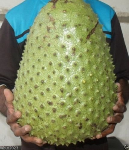 SOURSOP Seed, Annona muricata a.k.a. Guanabana, Graviola Freshly Harvest.