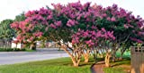 4 Pack - Tuscarora Pink Flowering Crape Myrtle Trees - Quart Pot - Approx. 1 foot tall