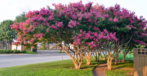 Crape Myrtle Trees - Box of 4 Trees - Quart Pot - Approx. 1 foot tall … by CrapeMyrtleGuy (Image #1)