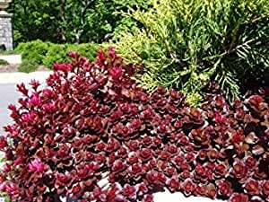 100 Sedum Purple Carpet seeds Deep Rose Pink Flowering succulent CombSH