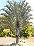 Triangle Palm(2 Plants) Dypsis decaryi