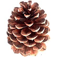 Medium Pacific Ponderosa Pine Tree Cones (20 Pinecones 3-4 Inch Tall) Ready For Natural Craft Supply Floral Arranging Home Decor Accents