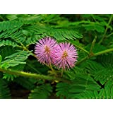 9GreenBoxs: Sensitive Plant 50 Seeds -LEAVES MOVE- Tropical
