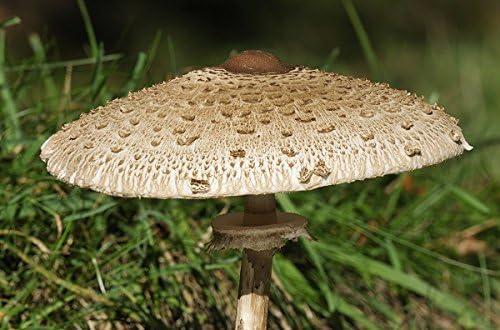 Seta parasol para el cultivo de jardín - 3 kg - semilla: Amazon.es: Jardín