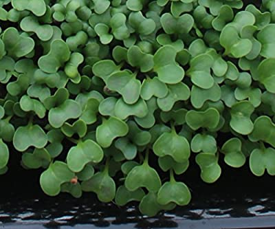 10,000+ Microgreens Seeds- Broccoli Raab- No Chemicals Used! Non-GMO