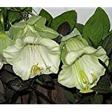 Seeds Cathedral Bells White (Cobaea scandens) Organic Climbing Vine Flower