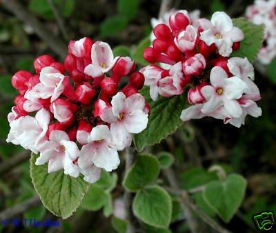 Fragrant Spice - Fragrant Korean Spice Viburnum, Viburnum carlesii 3 Seeds