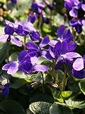 Viola odorata Queen Charlotte 1,000 seeds