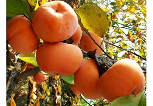 Sweet Preserves Orange - (2 Gallon) MATSUMOTO FUYU Japanese Persimmon (MATSUMOTO WASE) Large, round, sweet, reddish orange color. No puckering, non astringent. High in Fiber and Vitamins, Eaten Fresh or as preserves.