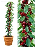 mini-dwarf-bonsai-big-cherry-seed-tree-organic-edible-sweet-fruit-10-pcs-bag