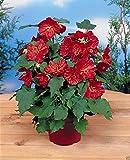 Abutilon 5 Seeds - Abutilon Hybridum Bella Deep Coral~ Perennial