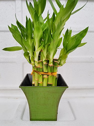 Jmbamboo - 2 Tier Lucky Bamboo - 6'' & 4'' Lucky Bamboos in 2 Tiers - Feng Shui - With 5'' Vase Color Moss Green by JM BAMBOO