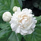 "9EzTropical - Arabian Jasmine 'Grand Duke of Tuscany' Fragrant Plant - 1 Plants - 8"" to 1 Feet Tall - Ship in 4"" Pot"
