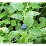 Vaccinium myrtillus - Heimische Blaubeere - Wilde Blaubeere - 15-20
