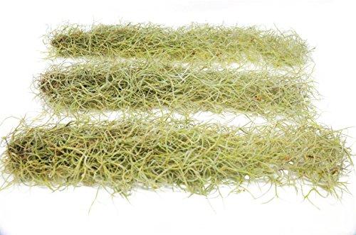 (Tillandsia Usneoides Air Plant/Spanish Moss / 2-3 Feet Long (3))