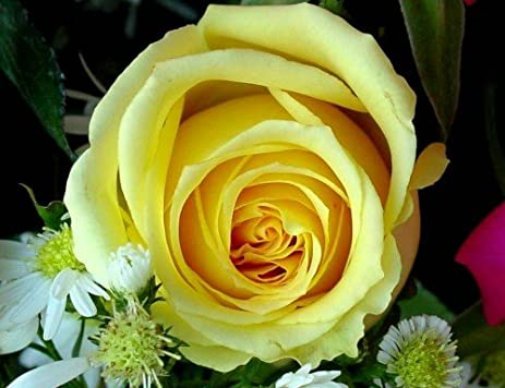 Amazon free shipping 100 grams approx 5 000 seeds yellow 5000 seeds yellow roses rose cheerful joy delight mightylinksfo