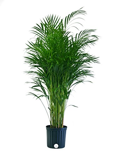 Costa Farms Butterfly Areca Palm in 8.75-Inch Grower Pot